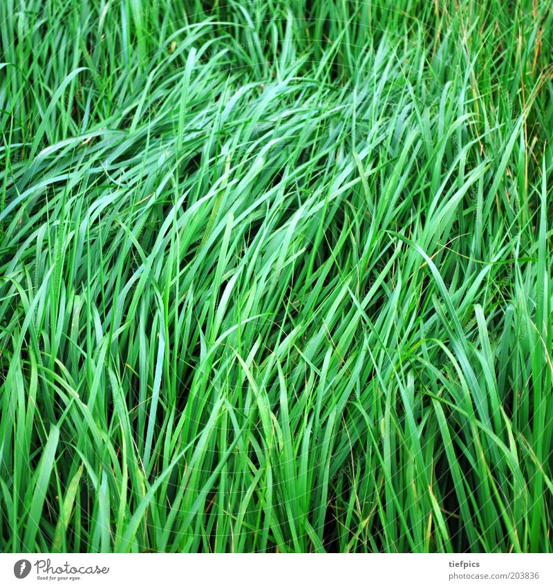 green grass. Summer Grass Meadow Juicy Green Blade of grass Wind Calm Smooth Nature Plant Fresh Spring Colour photo Deserted Field