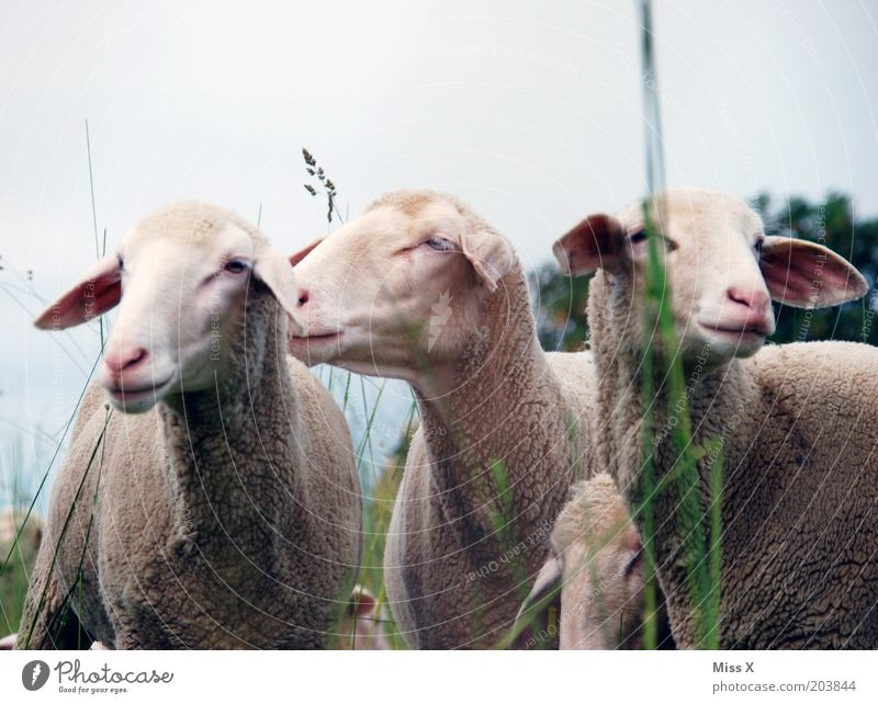 3 1/2 graces Nature Grass Meadow Animal Farm animal Group of animals Cuddly Pride Pasture Sheep Colour photo Subdued colour Exterior shot Deserted