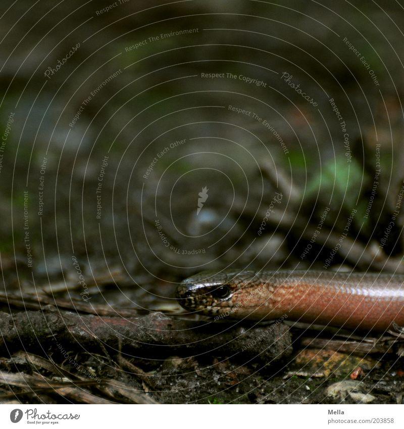 Nature Animal Dark Brown Glittering Environment Ground Animal face Natural Wild animal Woodground Creep Slow worm