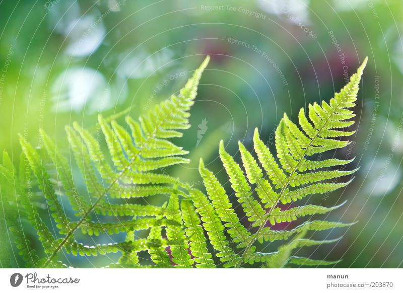 flicker of fern Nature Spring Summer Plant Bushes Fern Foliage plant Esthetic Bright Beautiful Environmental protection Colour photo Close-up