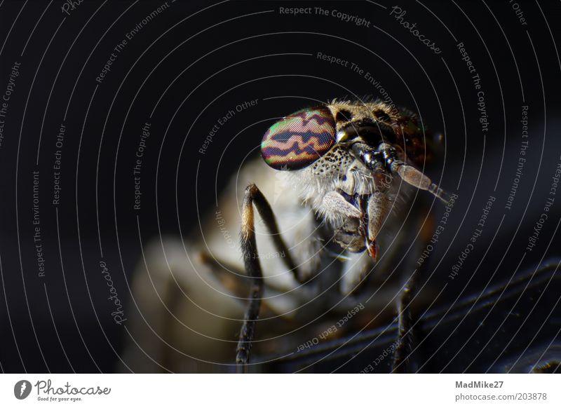 Brake (Tabanidae) Wild animal Dead animal Fly Animal face 1 Observe Hunting Crawl Lie Looking Sleep Sit Wait Threat Dark Exotic Glittering Beautiful Small Near