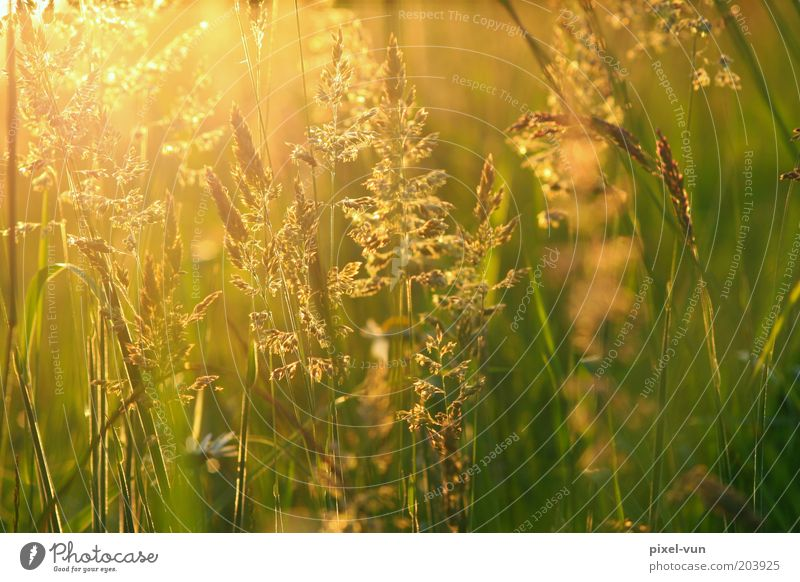 meadow gold Beautiful weather Grass Wild plant Meadow Warm-heartedness Calm Life Hope Relaxation Peace Emotions Blade of grass May Sunbeam Colour photo