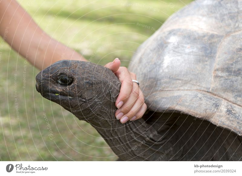 Closeup of giant tortoise at Curieuse island Hand Wild animal Turtle Painting (action, work) Reptiles Seychelles curieuse wildlife breeding station zoology face