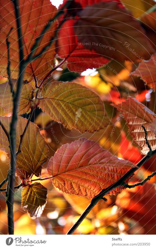 foliage Nature Autumn Leaf Hazelnut leaf blood hazel Rachis Leaf filament Underside of a leaf Natural Beautiful Warmth Brown Multicoloured Yellow Red Autumnal