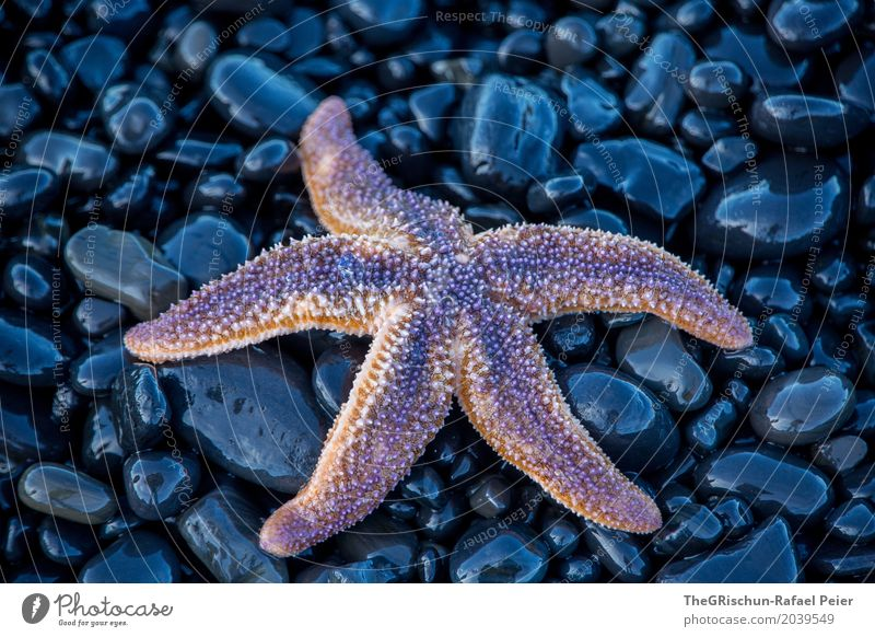 starfish Animal 1 Blue Violet Pink Black Starfish Ocean Living thing 5 Arm Legs Detail Structures and shapes Stone Wet Esthetic Lava Round Oval Colour photo