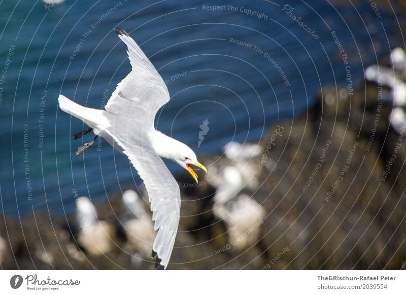 seagull Animal 1 Blue Gray Orange Black White Seagull Flying Aviation Beak Living thing Ocean Freedom Wing Colour photo Exterior shot Copy Space right Day