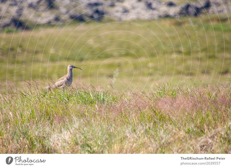 bird Animal 1 Brown Green Bird Living thing Forward Grass Stone Pasture Beak Stand Colour photo Exterior shot Deserted Copy Space top Copy Space bottom Day