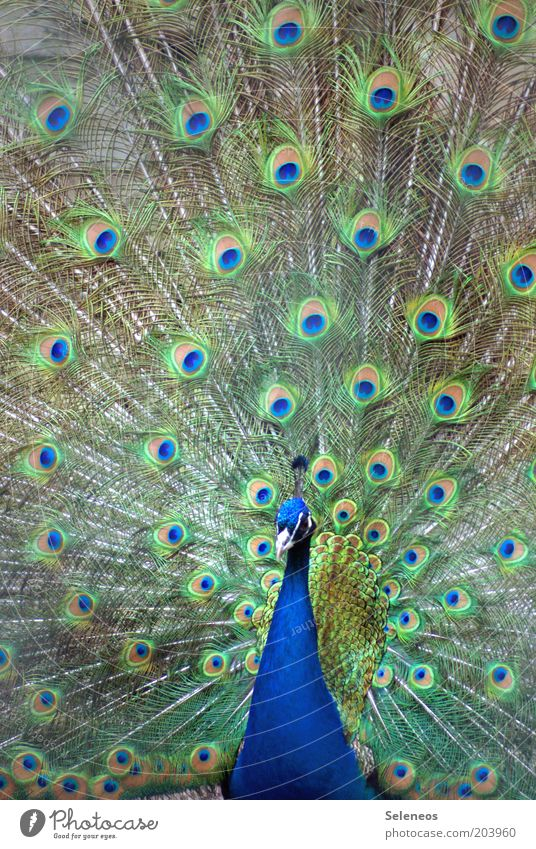 Beautiful Animal Bird Esthetic Animal face Feather Zoo Peacock Rutting season Plumed Peacock feather