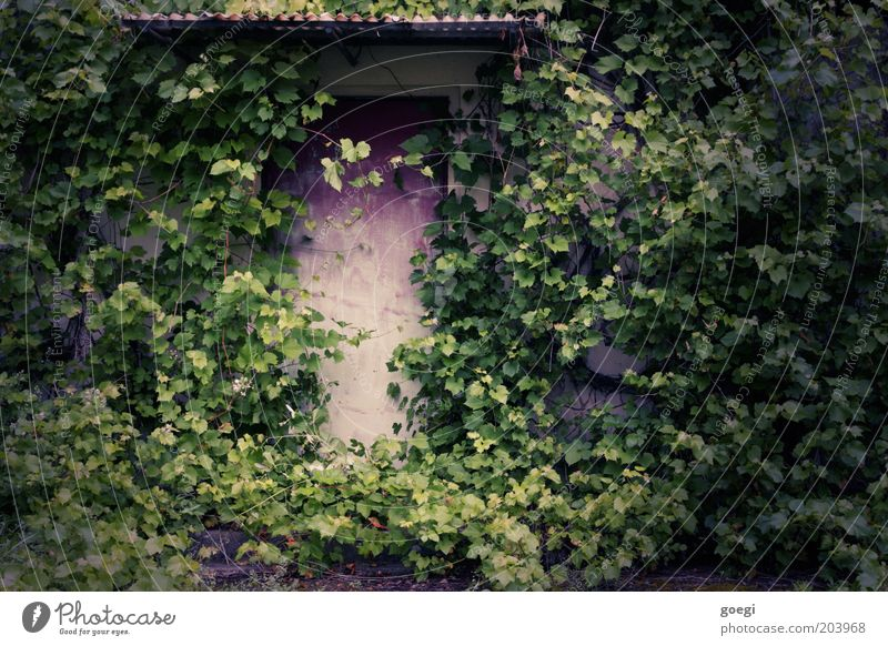 hidden Plant Ivy Foliage plant Wild plant Virginia Creeper Wall (barrier) Wall (building) Facade Door Canopy Entrance Front door Gate Portal Growth Old Decline