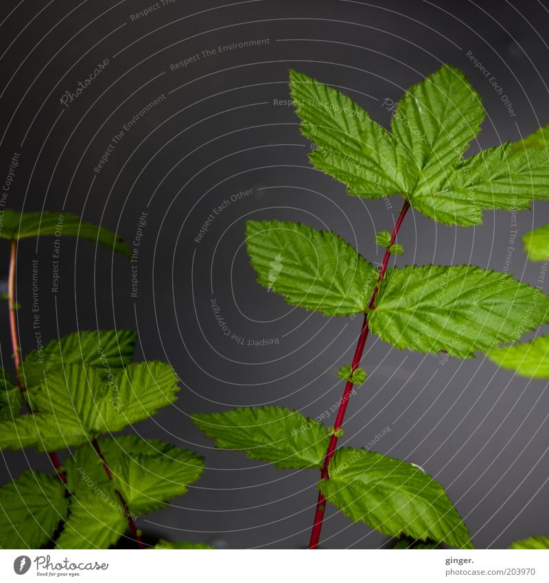 A dark picture for john and me Nature Plant Leaf Foliage plant Dark Gray Green Red Moody Symmetry Converse Stalk Leaf green Juicy Twigs and branches