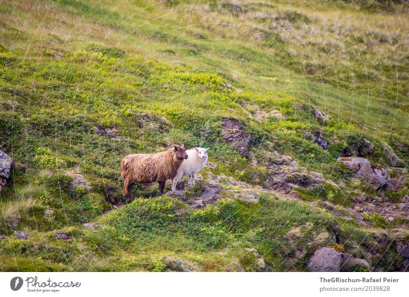 Iceland Sheep Animal Farm animal 2 Brown Gray Green White Living thing Hair and hairstyles Pelt Pasture Hill Stone Grass Friendship Colour photo Exterior shot
