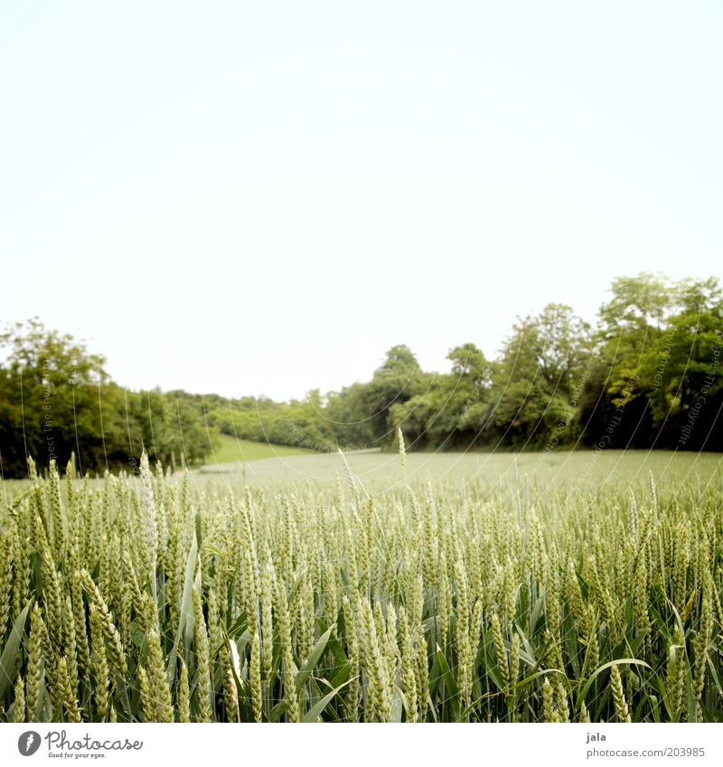 field Nature Landscape Sky Summer Plant Tree Bushes Foliage plant Agricultural crop Field Agriculture Growth Blue Green Wheat Colour photo Exterior shot