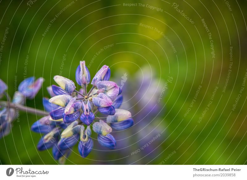 Nature Plant Blue Green Flower Environment Esthetic Blossoming Violet Depth of field Botany