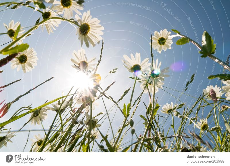 the other day in the flower meadow Environment Nature Plant Sky Cloudless sky Climate Weather Beautiful weather Flower Blossom Happiness Fresh Bright Blue White