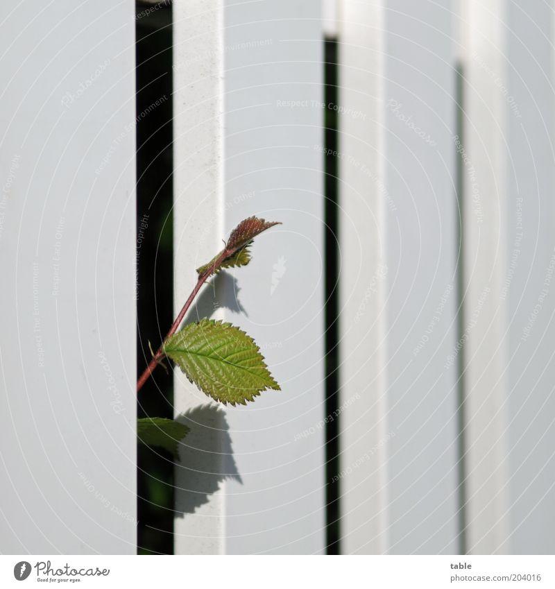 expansionism Plant Spring Summer Flower Leaf Wood Growth Curiosity Green Black White Self-confident Power Longing Effort Nature Fence Rachis Plantlet