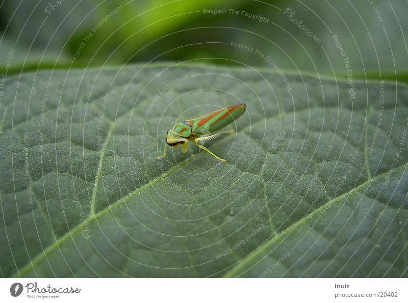 Green Leaf Garden Insect Cicada
