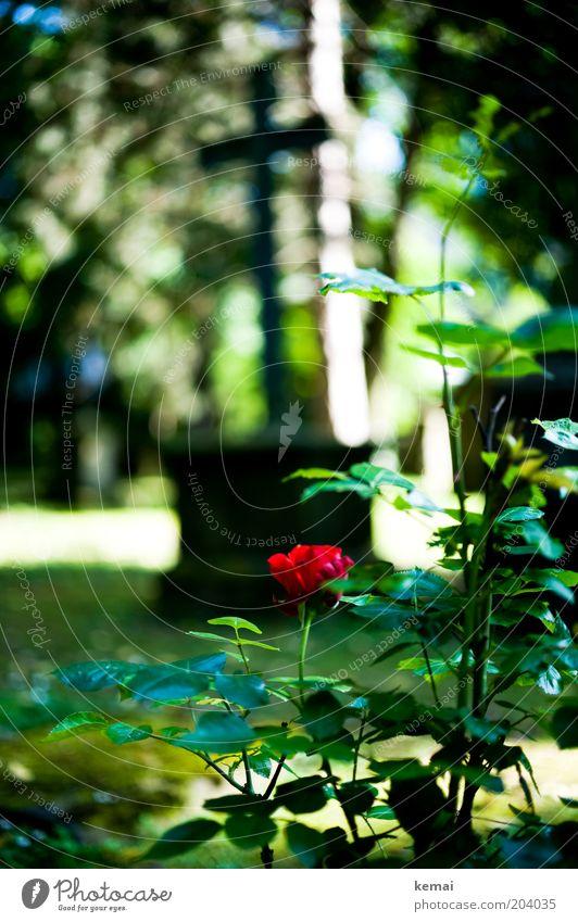 Nature Sun Flower Green Plant Red Summer Leaf Death Blossom Garden Park Warmth Environment Rose Grief