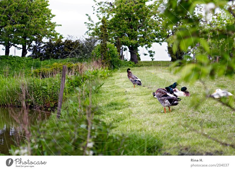 Nature Calm Relaxation Landscape Garden Bird Contentment Authentic Group of animals Cleaning Duck Farm animal Peaceful Poultry Free-living Animal