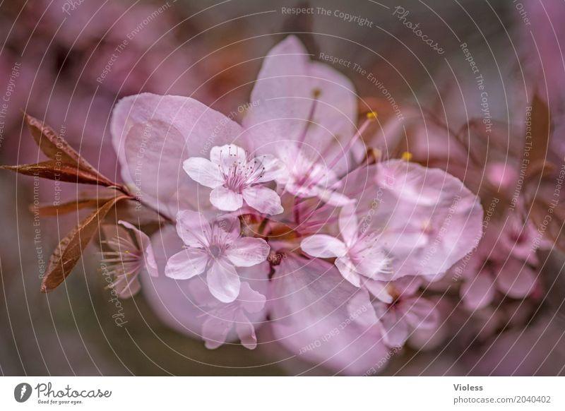 in the beginning ...... Beautiful Spring Tree Blossom Cherry blossom Ornamental cherry Rose garden Pink White Transience Beginning Japan Japanese Sherry