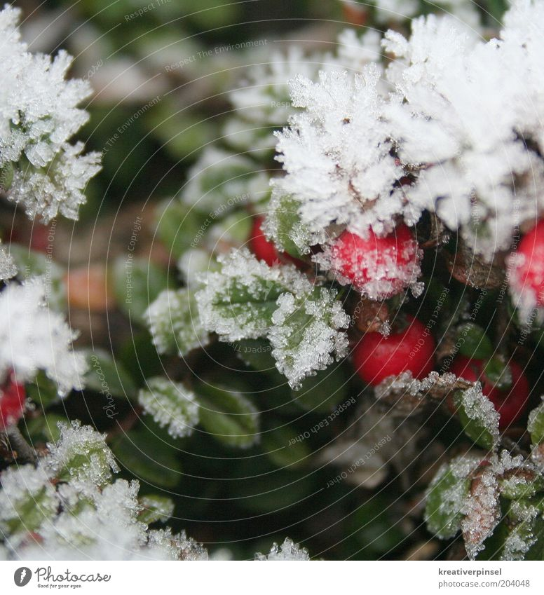 Nature White Green Red Plant Winter Leaf Cold Snow Ice Frost Frozen Berries Ice crystal Foliage plant