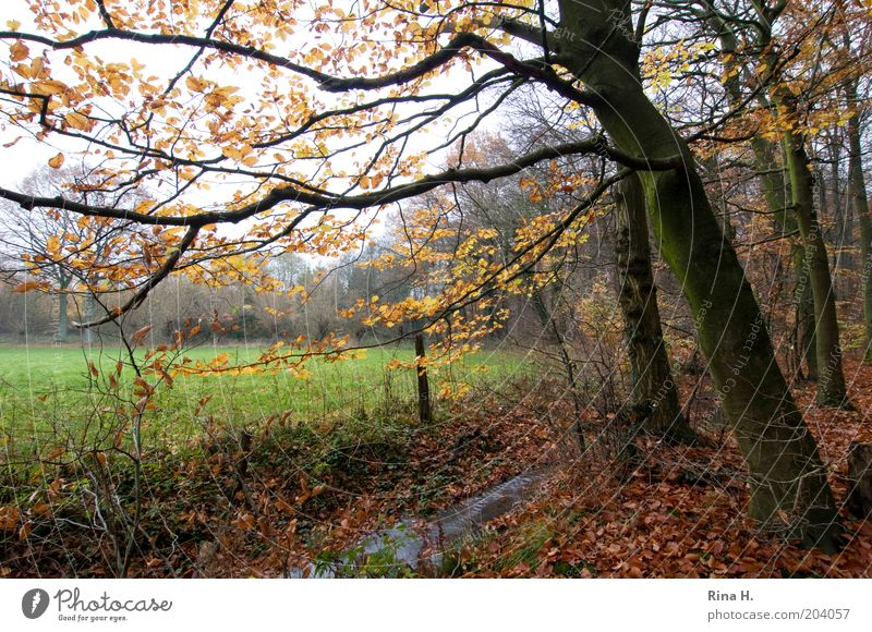 autumn Nature Landscape Plant Water Autumn Winter Tree Beech wood Meadow Forest Brook Moody Calm Environment Change November Colour photo Deep depth of field