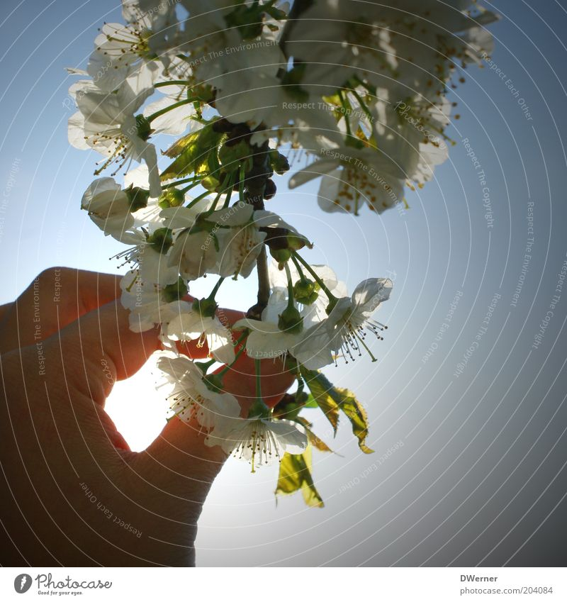 Sky Hand White Green Plant Summer Calm Emotions Blossom Spring Air Moody Touch Discover Blossom leave Copy Space