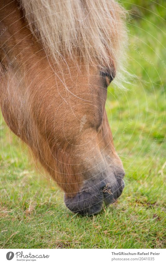 Icelanders Animal 1 Brown Green Horse Living thing Snout To feed Dish Grassland Pasture Mane Portrait photograph Colour photo Exterior shot Detail Deserted Day