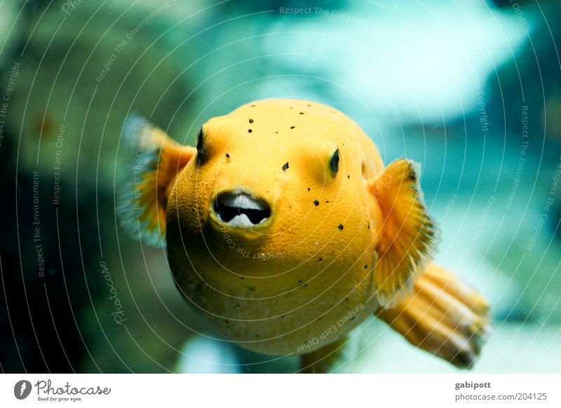 Water Animal Yellow Fish Round Exceptional Aquarium Exotic Underwater photo Structures and shapes Fishkeeping Fish mouth