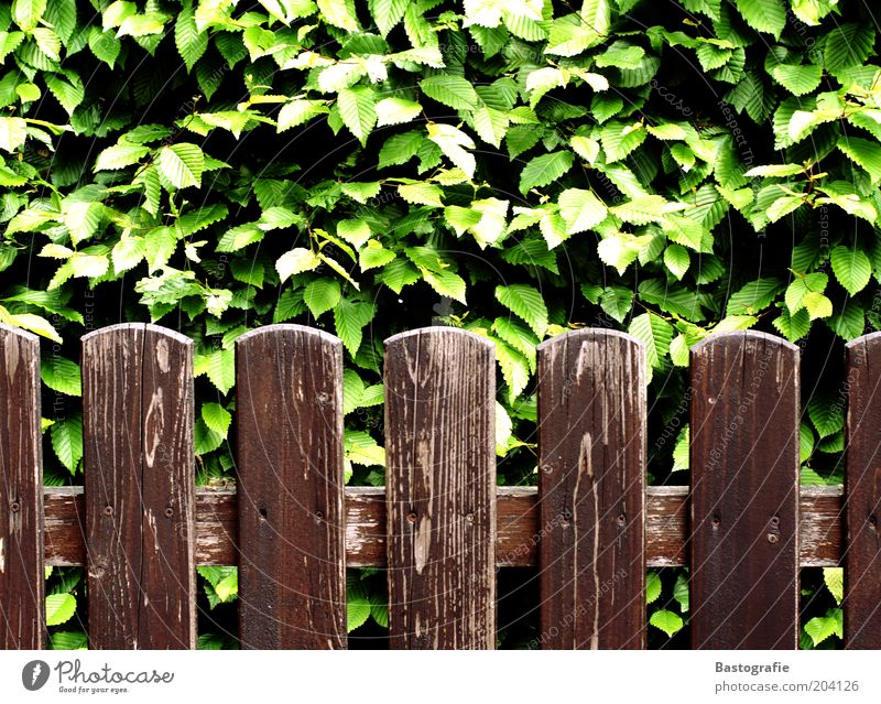 off through the hedge Plant Leaf Old Garden fence Fence Fence post Hedge Brittle Brown Green Texture of wood Colour photo Exterior shot Wood grain Wooden fence