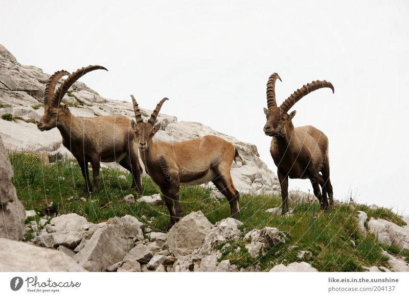 Ibex standing on stones Summer vacation Mountain Sky Grass Hill Rock Alps Capricorn 3 Animal Group of animals Pack Animal family Observe Stone Respect Graceful