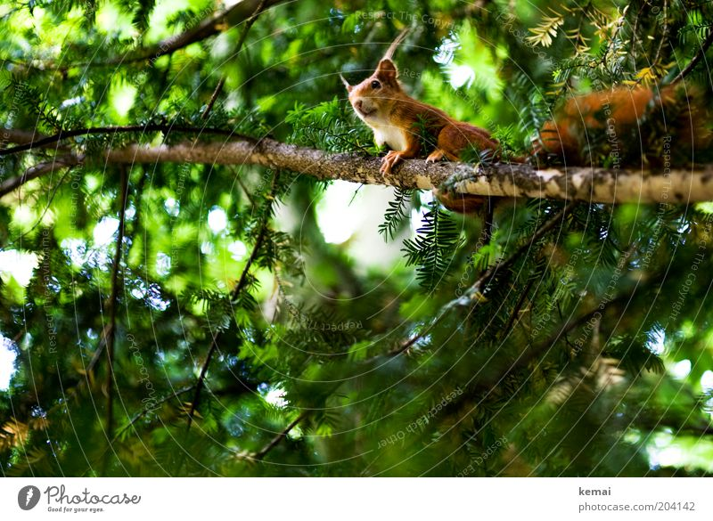 Squirrel balcony Environment Nature Plant Animal Summer Beautiful weather Tree Foliage plant Wild plant Coniferous trees Branch Twig Wild animal Animal face