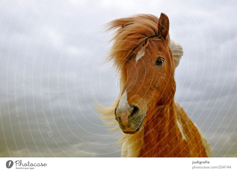 Iceland Nature Sky Clouds Animal Farm animal Horse 1 Observe Esthetic Friendliness Natural Brown Moody Contentment Love of animals Iceland Pony Wind Mane