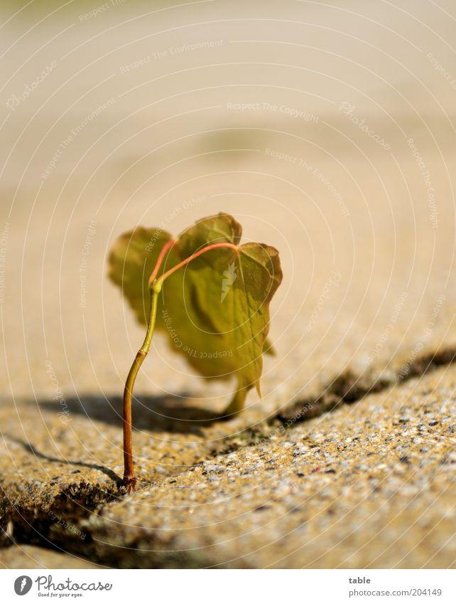 Nature Green Plant Leaf Stone Brown Beginning Growth Stand Change Stalk Hang Effort Seam Foliage plant Wild plant