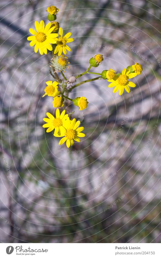 FLOWERING TIME Environment Nature Plant Summer Flower Blossom Wild plant Yellow composite Beautiful Flashy Blur Difference Branched Colour photo Exterior shot