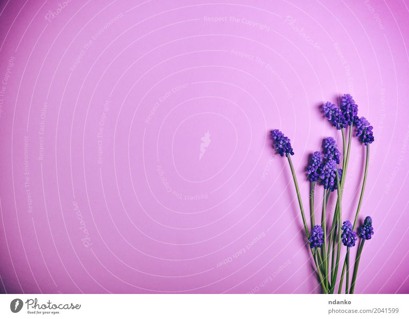 Purple spring flowers on a pink surface a royalty free stock photo purple spring flowers on a pink surface a royalty free stock photo from photocase mightylinksfo