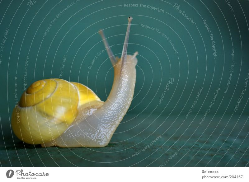squint Nature Animal Snail Snail shell Feeler 1 Observe Looking Small Near Cute Slimy Speed Colour photo Exterior shot Deserted Copy Space right Day Contrast