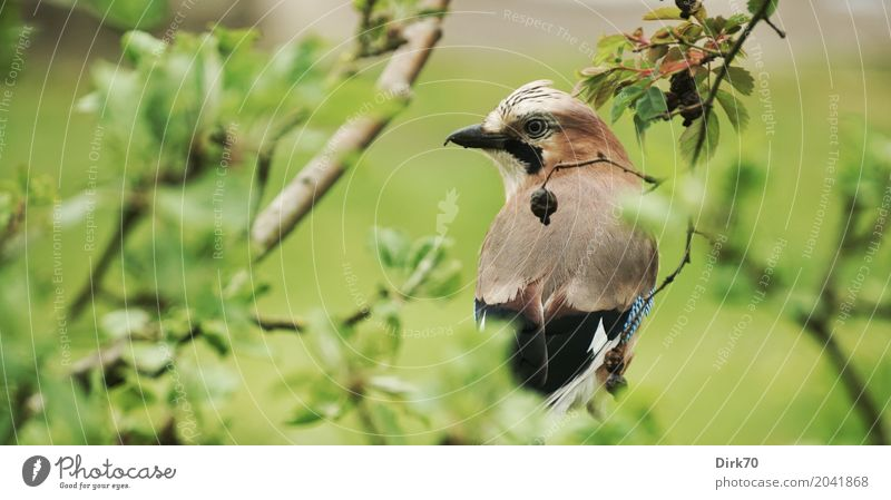 Jay in apple tree Environment Plant Animal Spring Tree Bushes Leaf Branch Twig Apple tree Garden Park Meadow Wild animal Bird Songbirds 1 Observe Crouch Looking