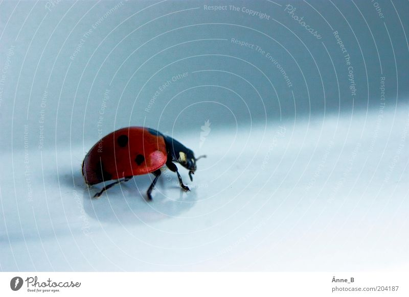 Red lacquered with black dots Environment Nature Animal Farm animal Beetle Wing Ladybird 1 Point Free Glittering Beautiful Blue Black Happy Watchfulness