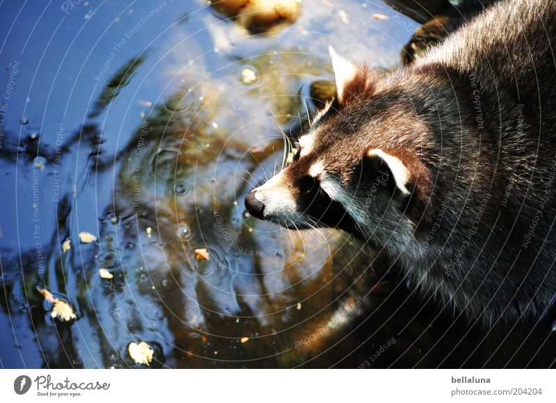 Nature Water Animal Environment Wild animal Drinking Cute Animal face Pelt Hunting Pond Snout Surface of water Whisker Love of animals Water reflection