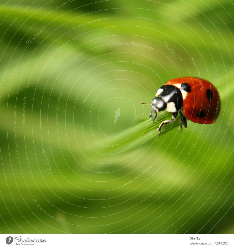 present Nature Summer Grass Blade of grass Animal Beetle Ladybird Insect Leg of a beetle 1 Crawl Beautiful Green Red Happy Future Blur Good luck charm Ease Easy