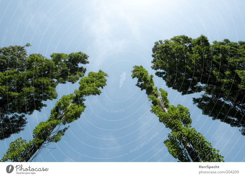 Nature Sky Tree Green Blue Plant Summer Tall Treetop Blue sky Light Ambitious Poplar Row of trees
