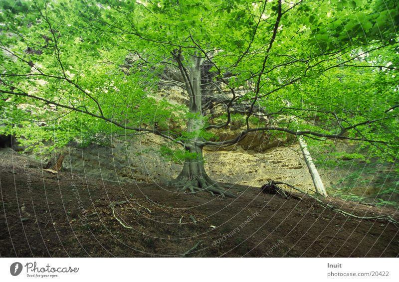Leaf Mountain Rock Treetop Beech tree Bohemian Switzerland
