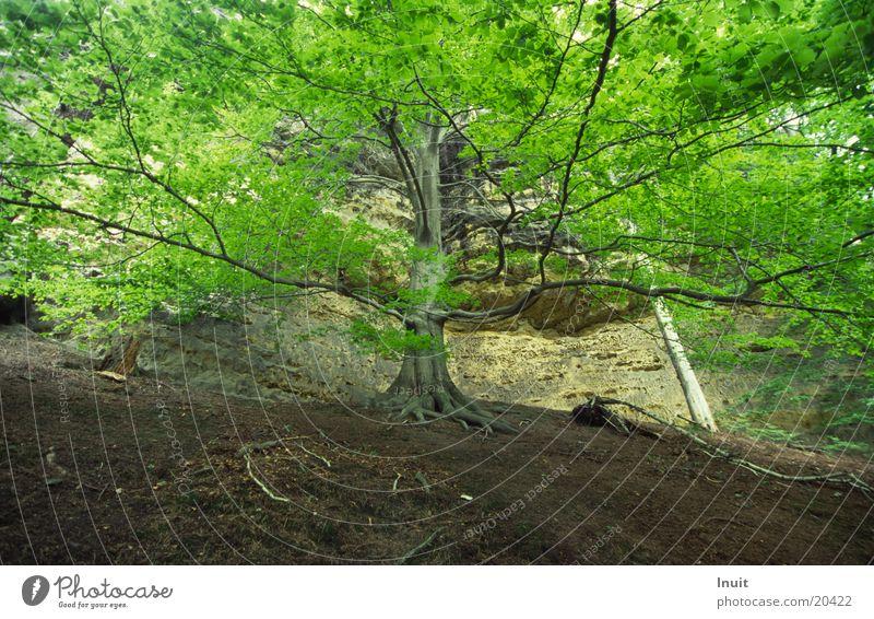 tree Bohemian Switzerland Beech tree Treetop Leaf Mountain Gabriel's Trail discharging Rock