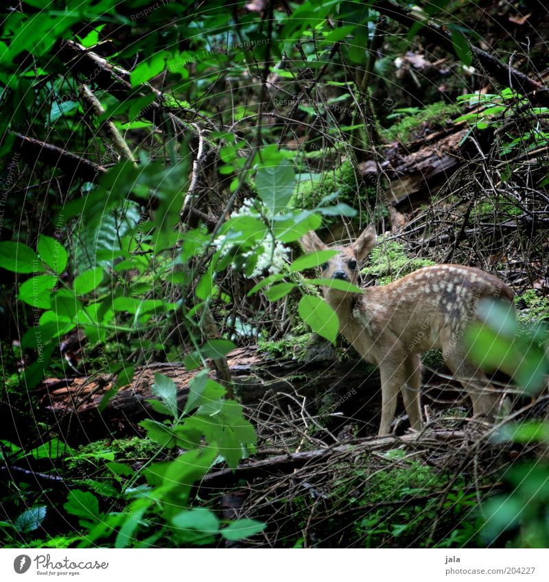 in the thicket... Plant Tree Bushes Wild plant Forest Undergrowth Animal Wild animal Fawn Roe deer 1 Baby animal Calm Small Leaf Colour photo Exterior shot