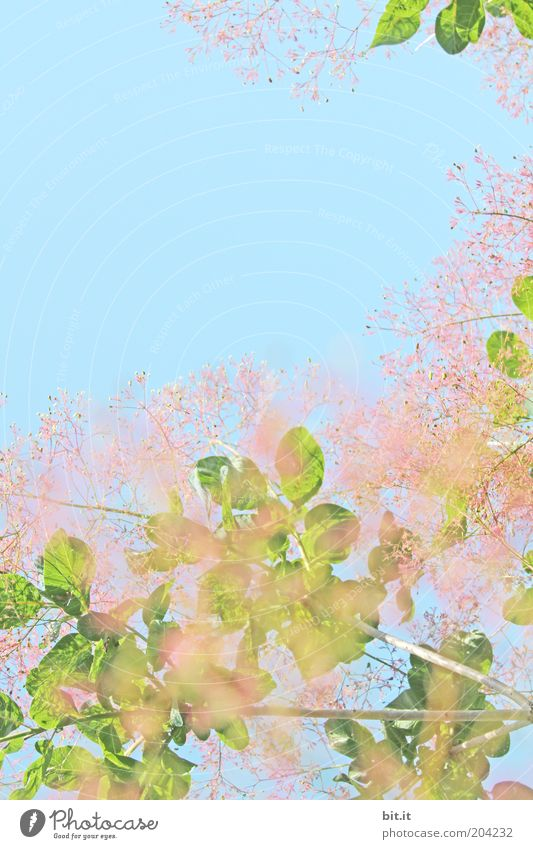 Sky Nature Green Blue Plant Summer Leaf Blossom Spring Pink Growth Blossoming Fragrance Summery Spring fever Twigs and branches