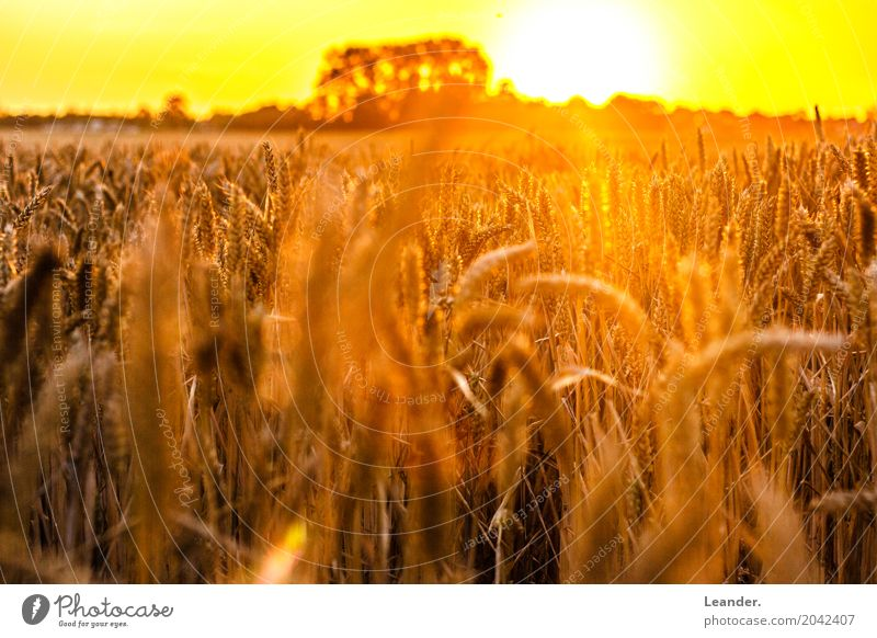 Cornfield in summer Environment Nature Landscape Weather Beautiful weather Meadow Field Esthetic Positive Warmth Yellow Gold Orange Silver Joy Concentrate