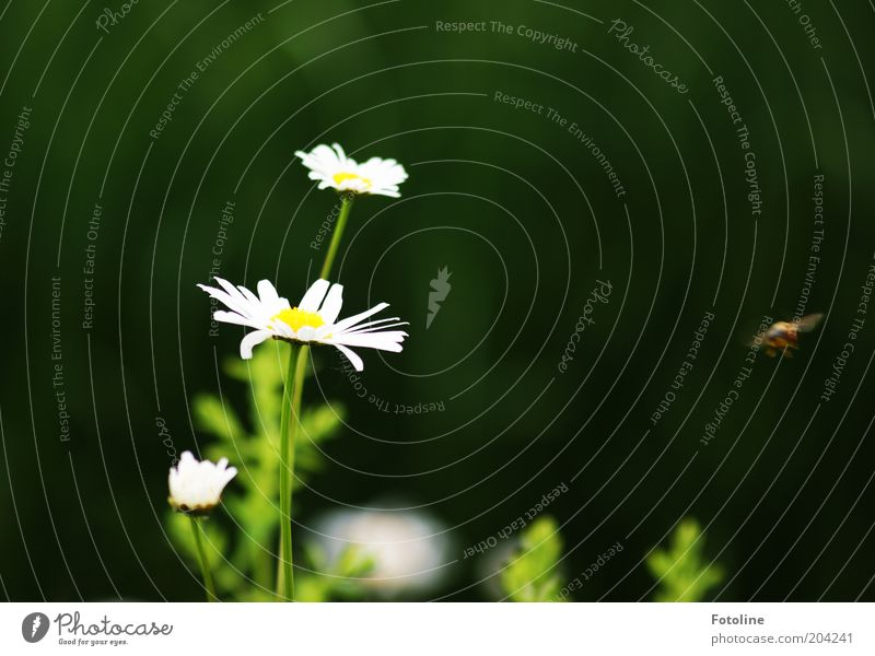 It's summer Environment Nature Plant Animal Summer Weather Beautiful weather Flower Blossom Meadow Bright Warmth Yellow Green White Marguerite Blossoming Flying