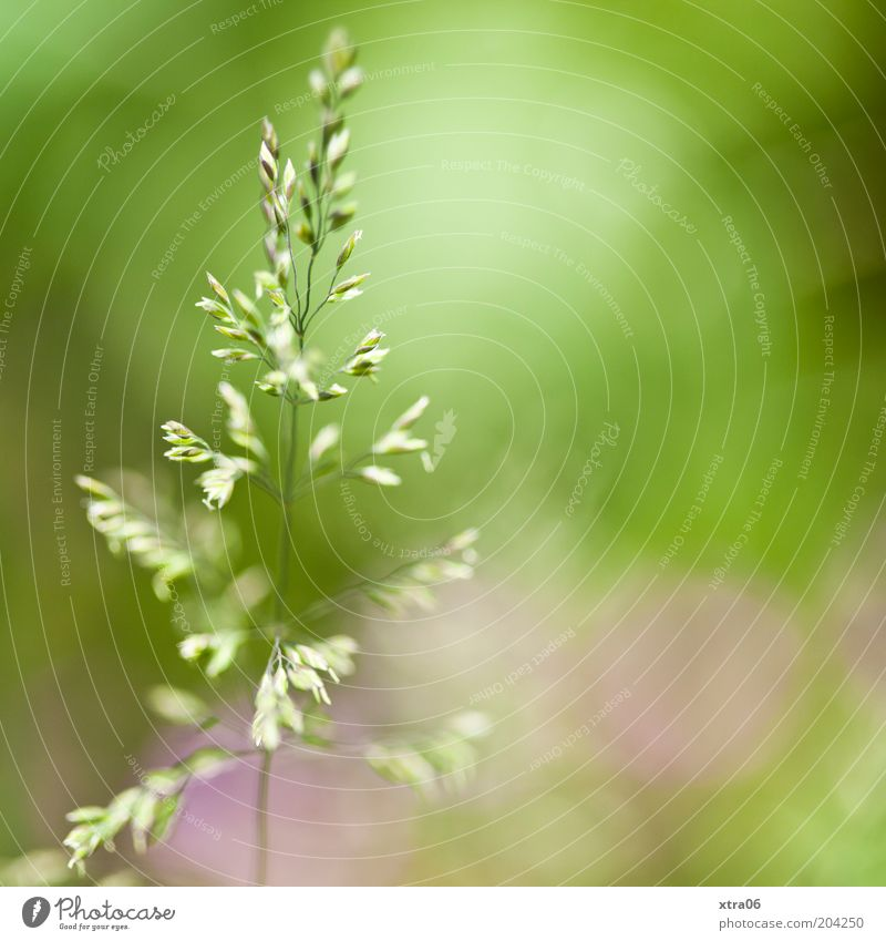 green with a little pink Environment Nature Plant Green Pink Colour photo Close-up Detail Copy Space right Sunlight Blade of grass
