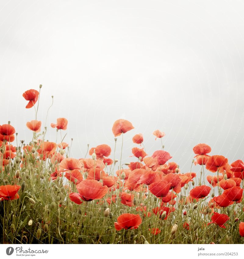 flower meadow Nature Plant Flower Grass Poppy Poppy field Meadow Gray Red Colour photo Exterior shot Deserted Copy Space top Day Long shot