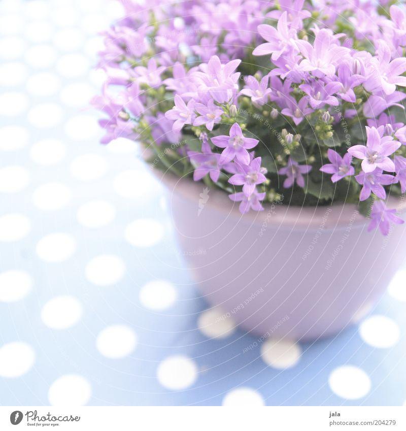 pot floret Plant Flower Pot plant Beautiful Violet Pink White Point Colour photo Exterior shot Deserted Copy Space top Day Copy Space bottom Copy Space left